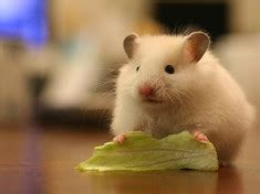 can a eat lettuce diet page 2 hamsters portal
