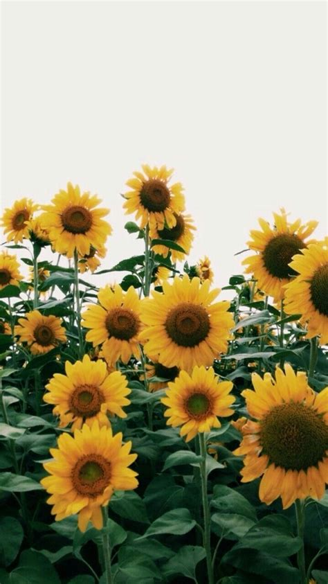 sunflowers background sunflowers for summer yay summer wallpaper