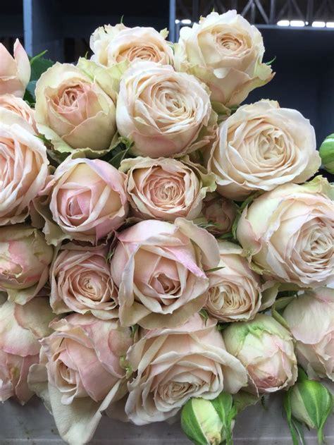 Malaya Gem Garden spray   Garden Roses   Rose, Spray roses