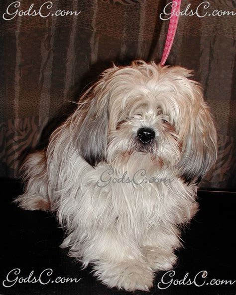 shih tzu grooming prices prices grooming god s creatures