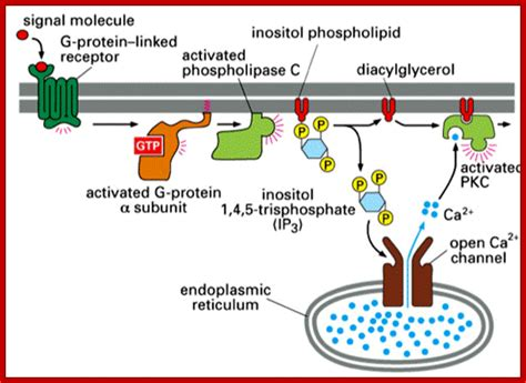 g protein signal transduction pathway signal transduction 3