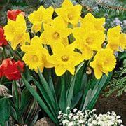 significato narciso significato dei fiori