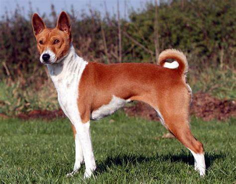 breeds and info basenji breed information pictures basenji breeds picture