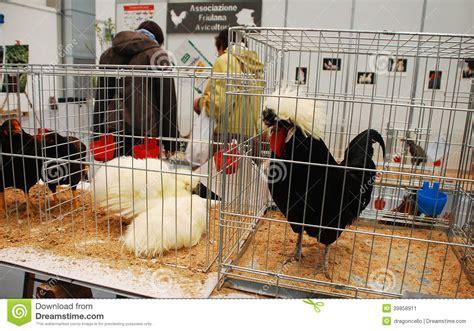 gabbie per polli gabbie per polli a pollice verde fotografia editoriale