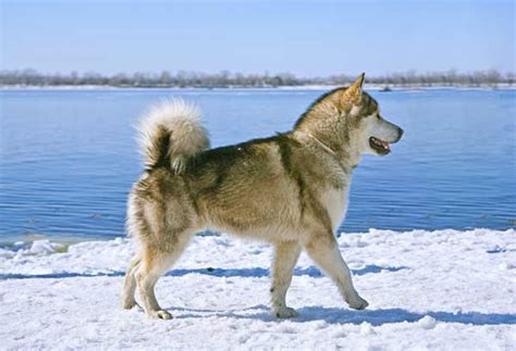 alaskan sled dogs get to the alaskan malamute the 18 wheelers of sled dogs