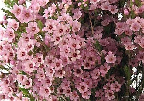 light pink wax flower pink waxflower search flugstad