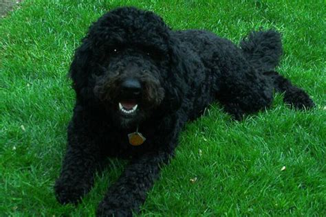 black goldendoodle puppies black and white goldendoodle puppies breeds picture