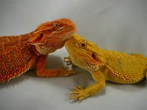 gallery gt bearded dragon color chart