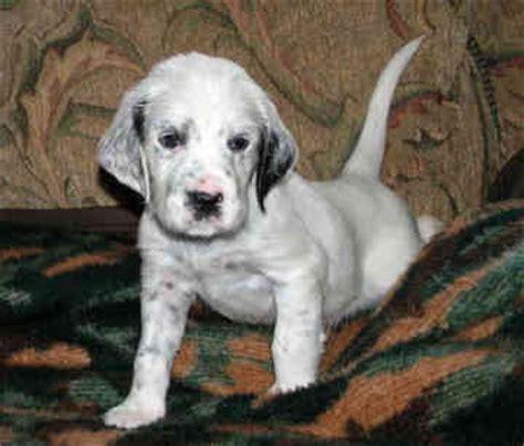 english setter house dog dogs info english setter puppy