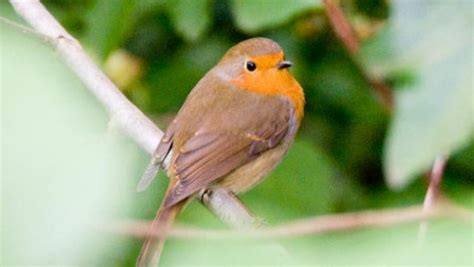 amazing facts about robins onekindplanet animal
