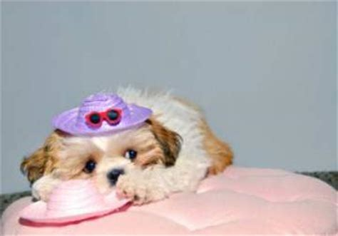 shih tzu separation anxiety shih tzu separation anxiety issues leaving your home alone