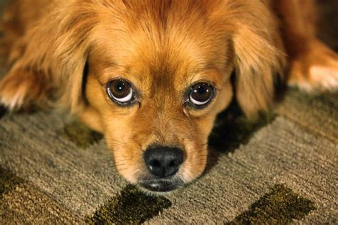 why do dogs rub their faces on carpet cuteness