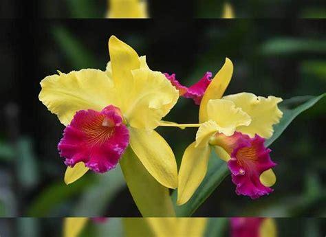 Tanaman Hias Anggrek Cattleya Cl 35 jenis bunga anggrek indonesia lengkap dengan gambar