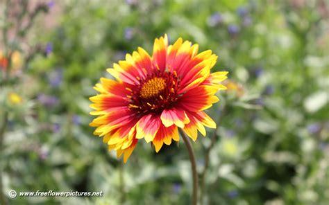 blanket flower pictures blanket flower photos
