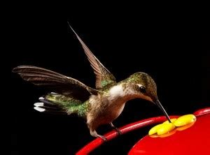 the hummingbird diet earth earthsky