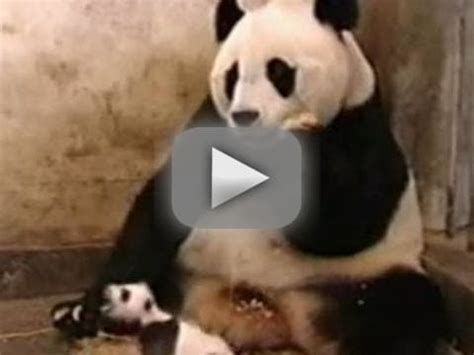 baby panda sneezes, shocks mother the hollywood gossip