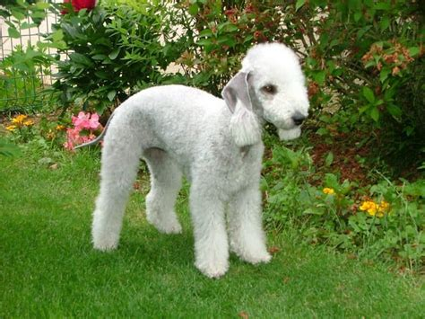 most hypoallergenic dogs top hypoallergenic dogs the most suitable breeds