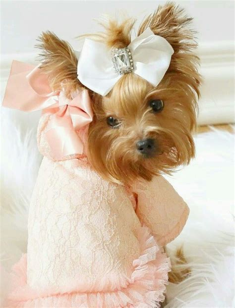 teacup yorkie supplies 17 best images about all things yorkie on micro teacup puppies