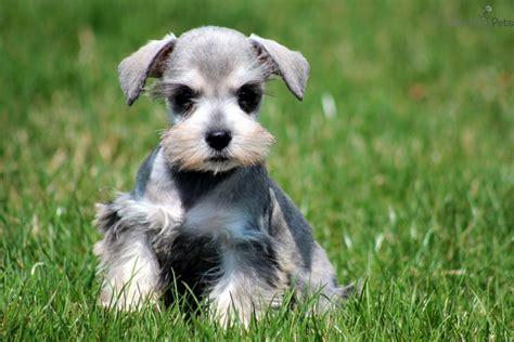 best food for miniature schnauzer puppy miniature schnauzer puppy cut book covers