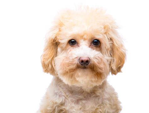 breeds and information miniature poodle breed information and pictures