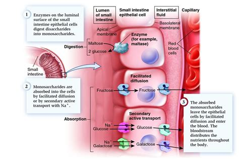 3 carbohydrates absorbed by epithelial cell solved subjective questions digestion and absorption of