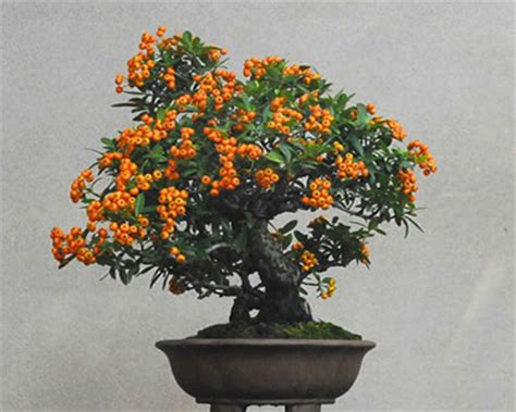 Pohon Cherry By One Home how to grow bonsai trees complete guide