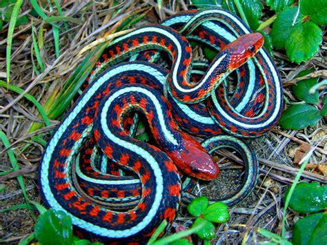 Garden Snake Canada California Sided Garter Snake Coniferous Forest