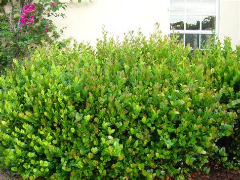 flowering shrubs in florida cocoplum a great florida shrub landscape