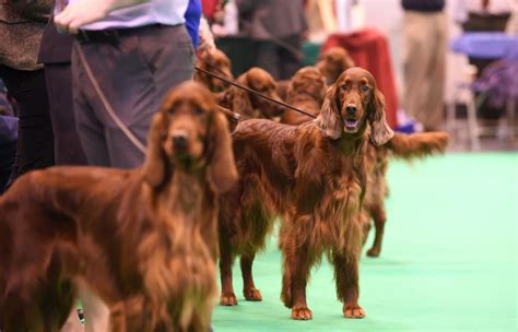 irish setter national dog show 2015 thendara satisfaction poisoned at crufts dog show owner