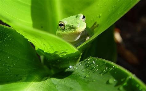 green wallpaper australia funny australian green tree frog funny animal