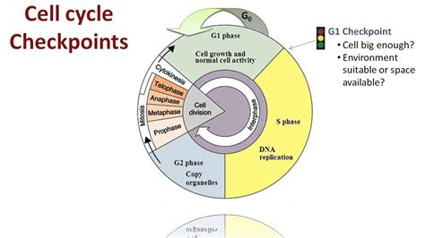 section 5 3 regulation of the cell cycle regulation of the cell cycle youtube