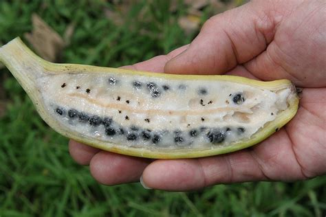 did you know that wild bananas have large seeds common bananas are engineered not to have them