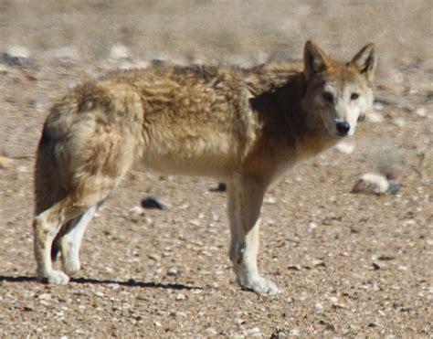 Tibetan Wolf Wikipedia Picture Of