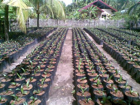 Bibit Sawit teknologi budidaya kelapa sawit archives budidaya kelapa
