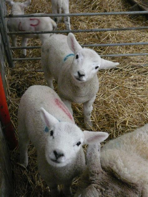 the l by lambs raising orphan and bottle fed lambs pneumonia