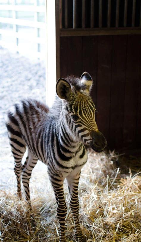 zebra    baby zebra  called colt male foal female    offspring