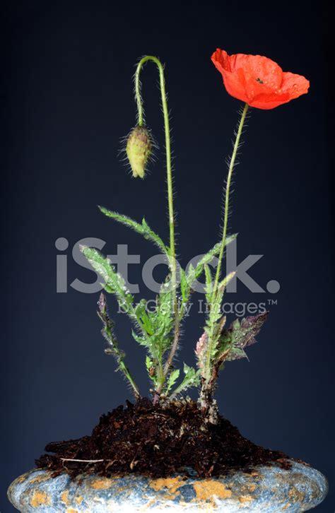 fiore di papavero fiori di papavero stock photos freeimages