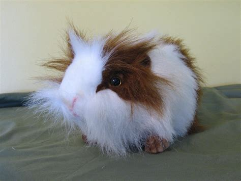 guinea pug guinea pigs guinea pigs wallpaper 15107381 fanpop