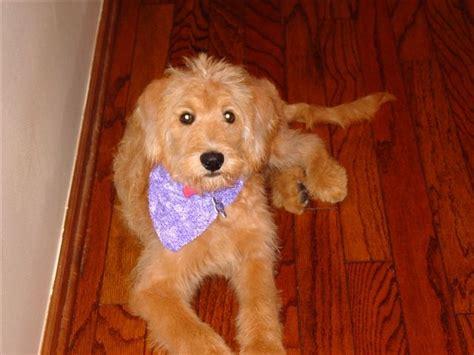 doodle puppy acres labradoodle doodlesatnewhomes