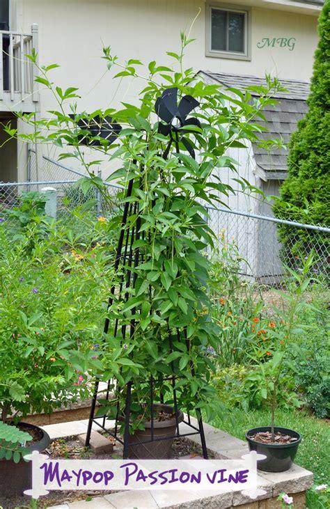 climbing plants  vertical butterfly gardens