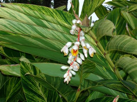 list of tropical plants tropical plants sub tropical plants list