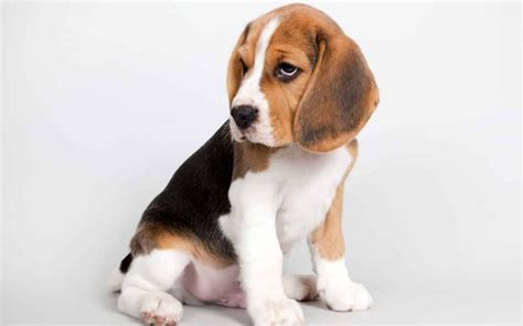 best breed for beagle top 10 best dogs for breeds picture