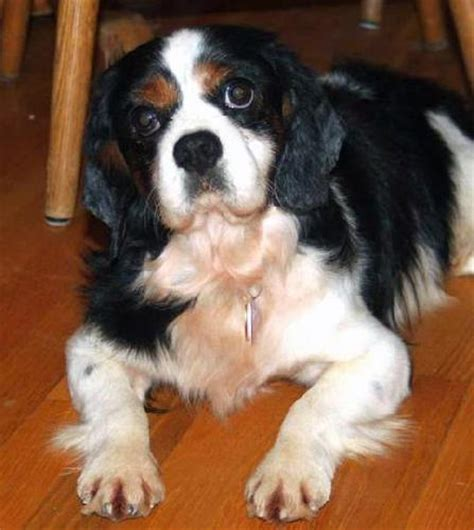 cavalier king charles spaniel puppies adoption cavalier king rescue breeds picture
