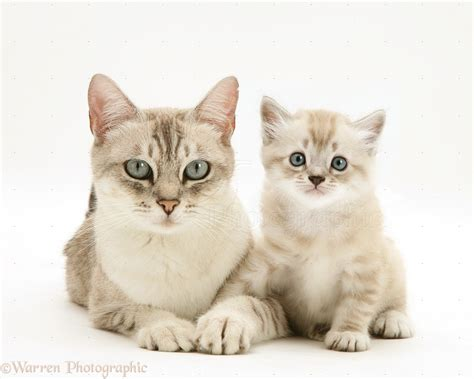 cat and images birman cross cat and kitten photo wp22153