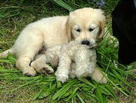 golden retriever puppy stages puppy teething help