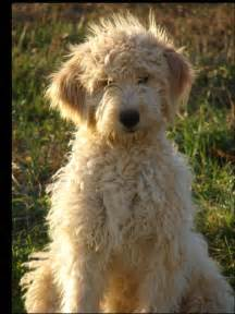 for the record we want a goldendoodle sachin agarwal