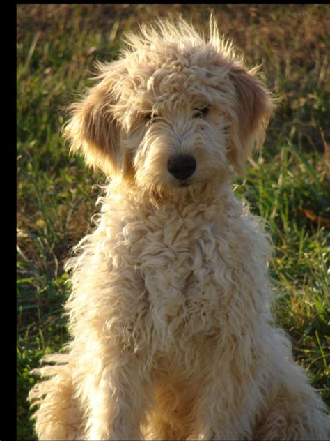great doodle names goldendoodle names www proteckmachinery