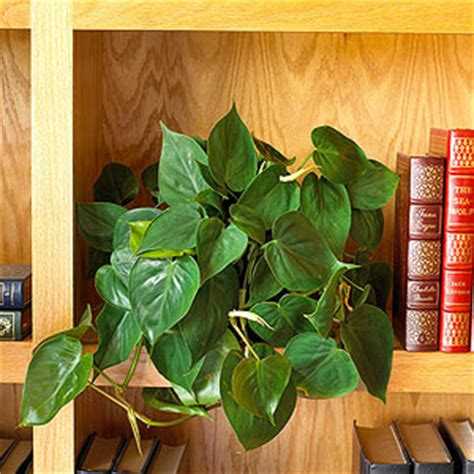 climbing house plants identification philodendron