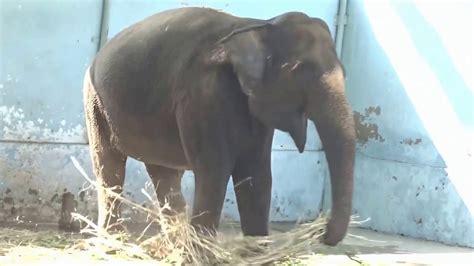 botanical name of elephant elephant scientific name proboscidea elephantidae at zoo of kankaria lake of ahmedabad
