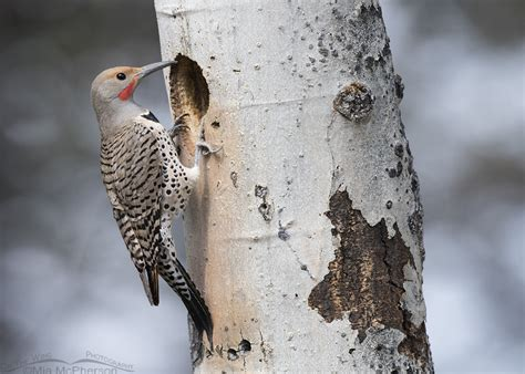 northern flicker nesting cavity mia mcpherson s on the